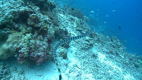 Banded sea krait (Laticauda colubrina) swims over sea bed