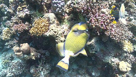 Titan triggerfish (Balistoides viridescens) close feeding on coral with other reef fish - PART