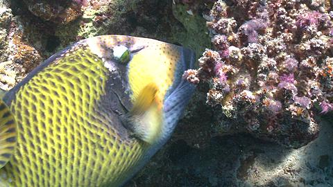 Titan triggerfish (Balistoides viridescens) close feeding on coral with other reef fish - PART Start to circa 20 seconds
