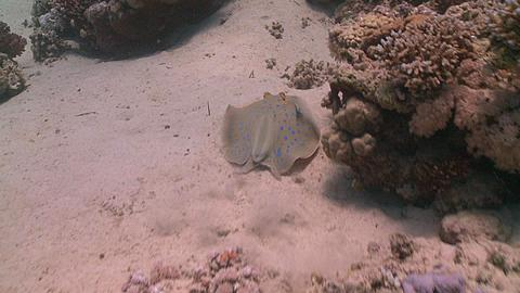 tailess blue spotted ray (Taeniura lymma) is molested by cleaner wrasse