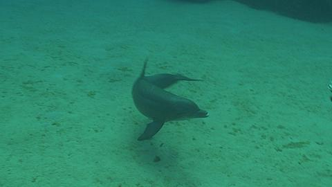 Bottlenose dolphin (Tursiops truncatus) interacts with divers (some uncleared) near sea floor., Roatan Island, Honduras