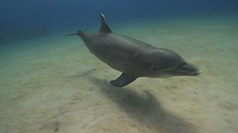 Habituated bottlenose dolphin (Tursiops truncatus) swims to camera then interacts with divers (some uncleared) near sea floor. Various (Liam Allan tickles dolphin), Roatan Island, Honduras