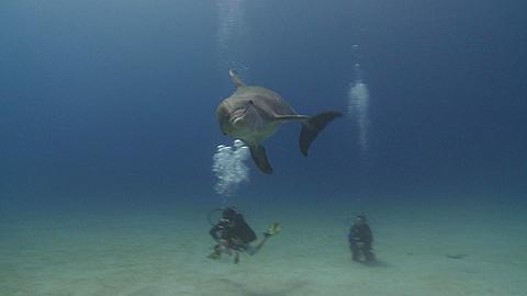 Habituated bottlenose dolphin (Tursiops truncatus) swims to camera then interacts with diver leader (some other divers uncleared) looking for food., Roatan Island, Honduras