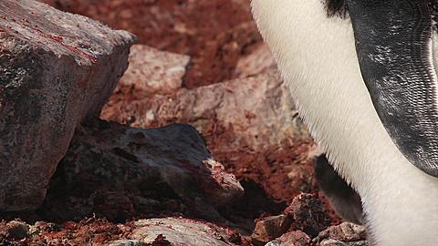 Adelie penguin (Pygoscelis adeliae) close young chick pokes head out from behind adult's legs and begs, Antarctica