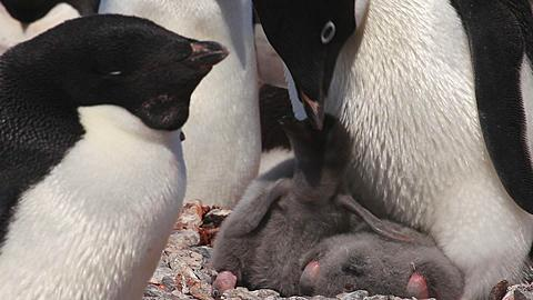 Adelie penguin (Pygoscelis adeliae) close young chick at adults feet, lounging in nest, beg and settle again, Antarctica