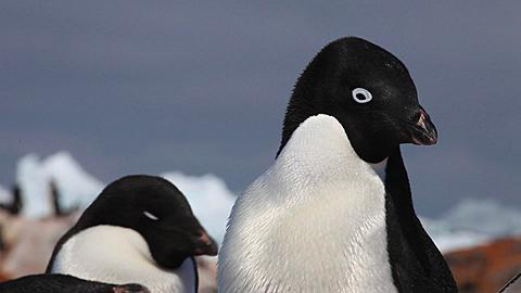 Adelie penguin (Pygoscelis adeliae) close young chick snooze at adults feet, move up to adults nice light, Antarctica