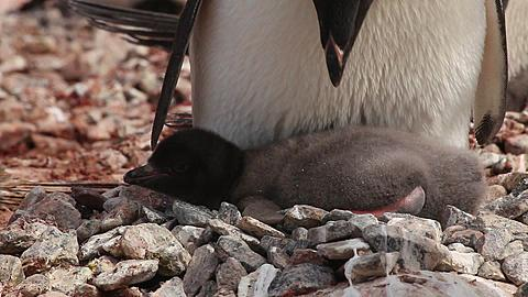 Adelie penguin (Pygoscelis adeliae) close young chick at adults feet, various tilts to adult; adult display, Antarctica