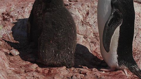 Tilt up adelie chicks (Pygoscelis adeliae) med close (some weeks old), breathing hard in heat next to parent, Antarctica