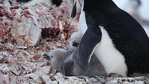 Chinstrap penguin (Pygoscelis antarcticus) at rock nest with pair of chicks