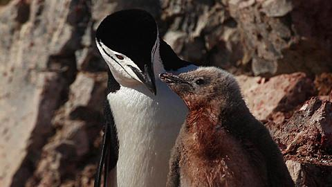 Chinstrap penguin (Pygoscelis antarcticus) chick at rock nest begs and is fed by adult