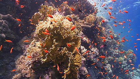 Coral goldfish/Anthias (Pseudanthias squamipinnis) around coral outcrop  - 1159-691