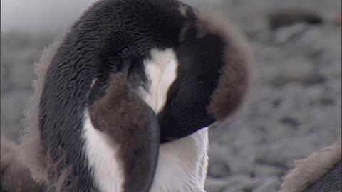 Adelie penguins (Pygoscelis adeliae), moulting juveniles