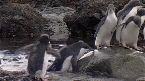Adelie penguins (Pygoscelis adeliae), moulting juveniles and adults jumping into shallow water