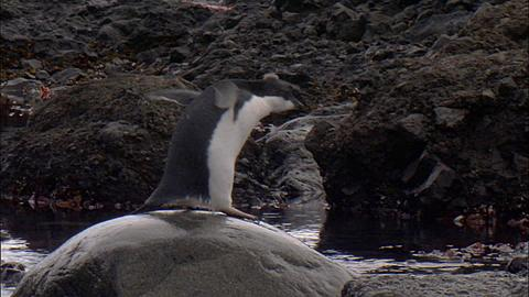 Adelie penguins (Pygoscelis adeliae), moulting juveniless jumping into shallow water and onto rocks, fall at end