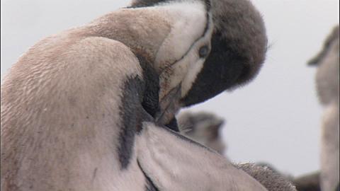 Chinstrap penguin (Pygoscelis antarctica) moulting chick preens