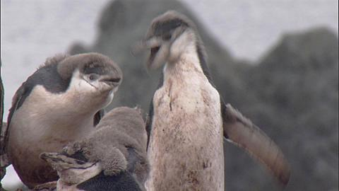 Chinstrap penguin (Pygoscelis antarctica) moulting chicks preen in colony - two chicks agitated - fight