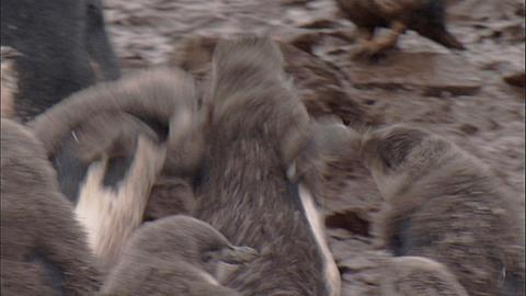 Chinstrap penguin (Pygoscelis antarctica) moulting chicks chase and fight in colony