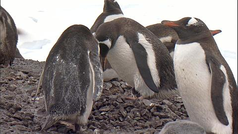 Gentoo penguin (Pygoscelis papua) adults in colony with small chick on feet