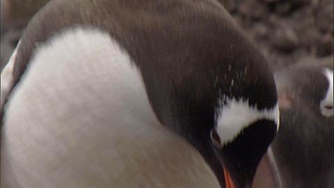 Gentoo penguin (Pygoscelis papua) adult and chick on parent's feet