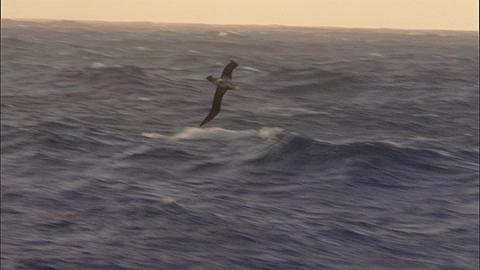 Heavy seas with large waves and wandering albatross (Diomedea exulans)
