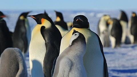 Emperor penguin (Aptenodytes fosteri) chick begs, adult begins to bring up food