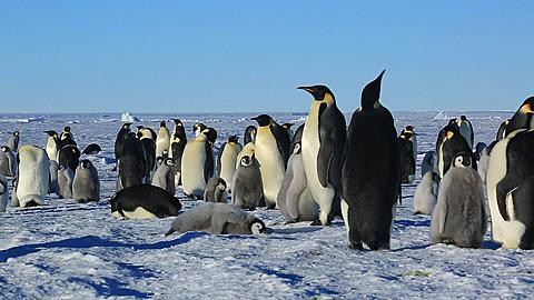 Emperor penguins (Aptenodytes fosteri) part of colony, adult and chick walk through