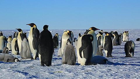 Emperor penguins (Aptenodytes fosteri) part of colony, adult and chick walk off