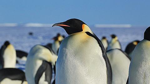 Emperor penguin (Aptenodytes fosteri) preening at colony