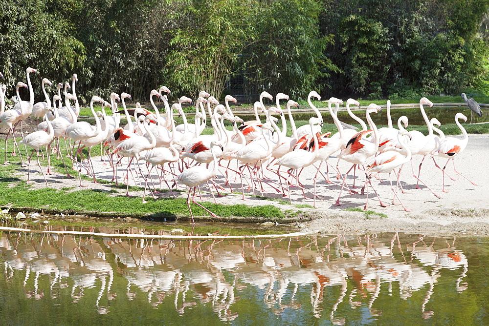 Greater Flamingoes (Phoenicopterus ruber), Wilhelma Zoo and Botanical Garden, Stuttgart, Baden Wurttemberg, Germany, Europe