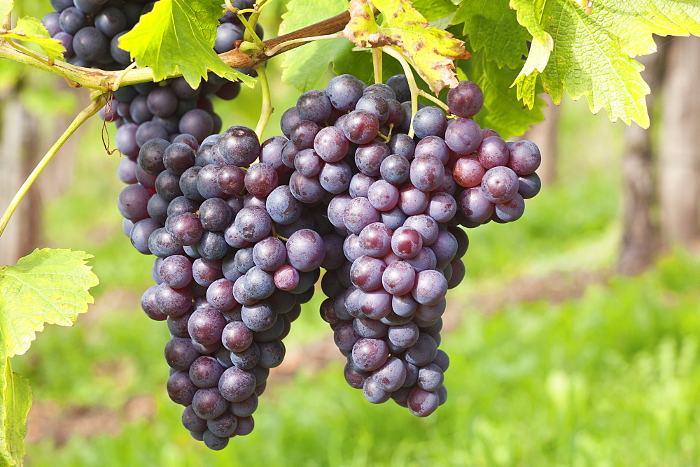 Red wine grapes, Uhlbach, Baden Wurttemberg, Germany, Europe