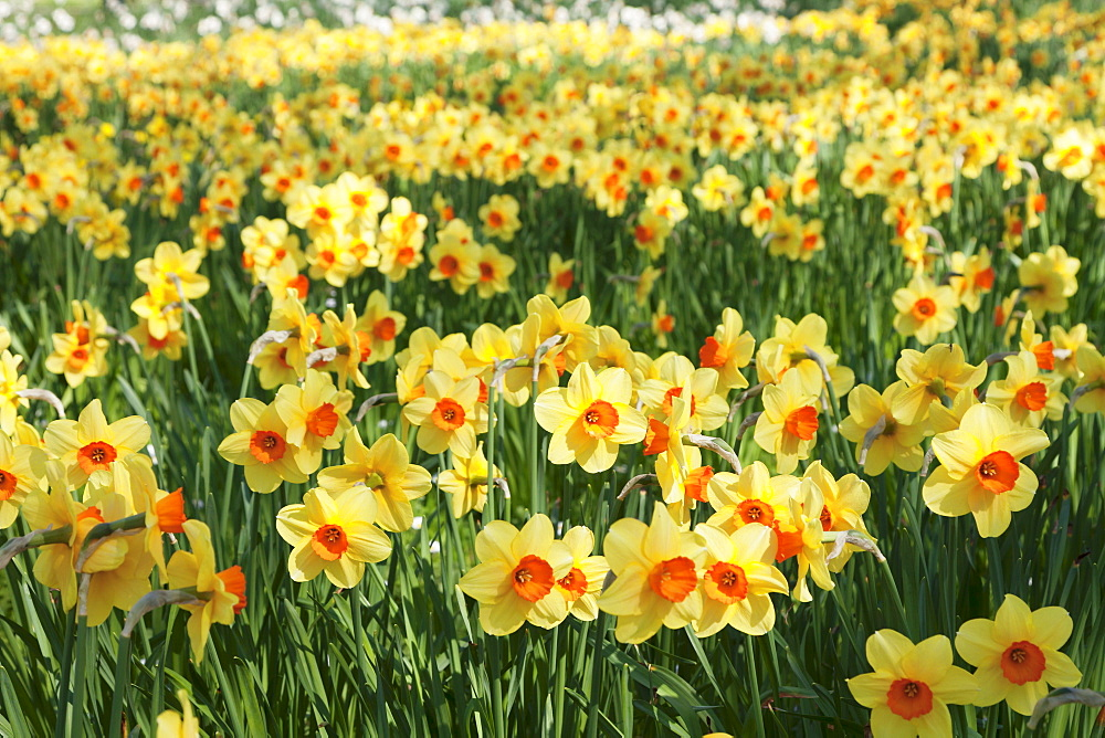 Field of narcissi, Mainau Island in spring, Lake Constance, Baden-Wurttemberg, Germany, Europe - 1160-2432