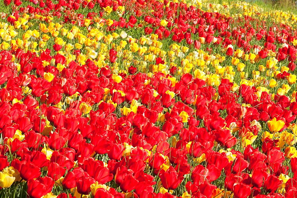 Field of tulips, Mainau Island in spring, Lake Constance, Baden-Wurttemberg, Germany, Europe