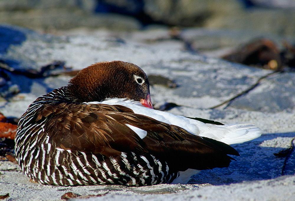 Kelp Goose, Sea Lion Island, Falkland Islands