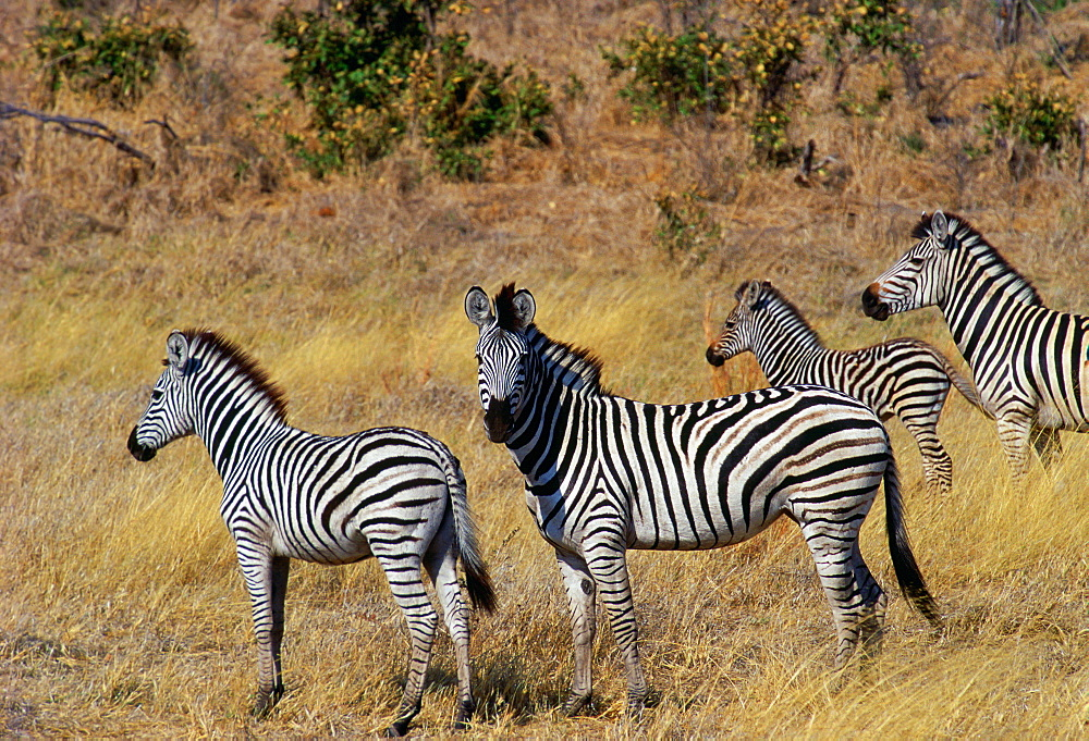 Herd of Burchell's Zebras  in Moremi National Park , Botswana