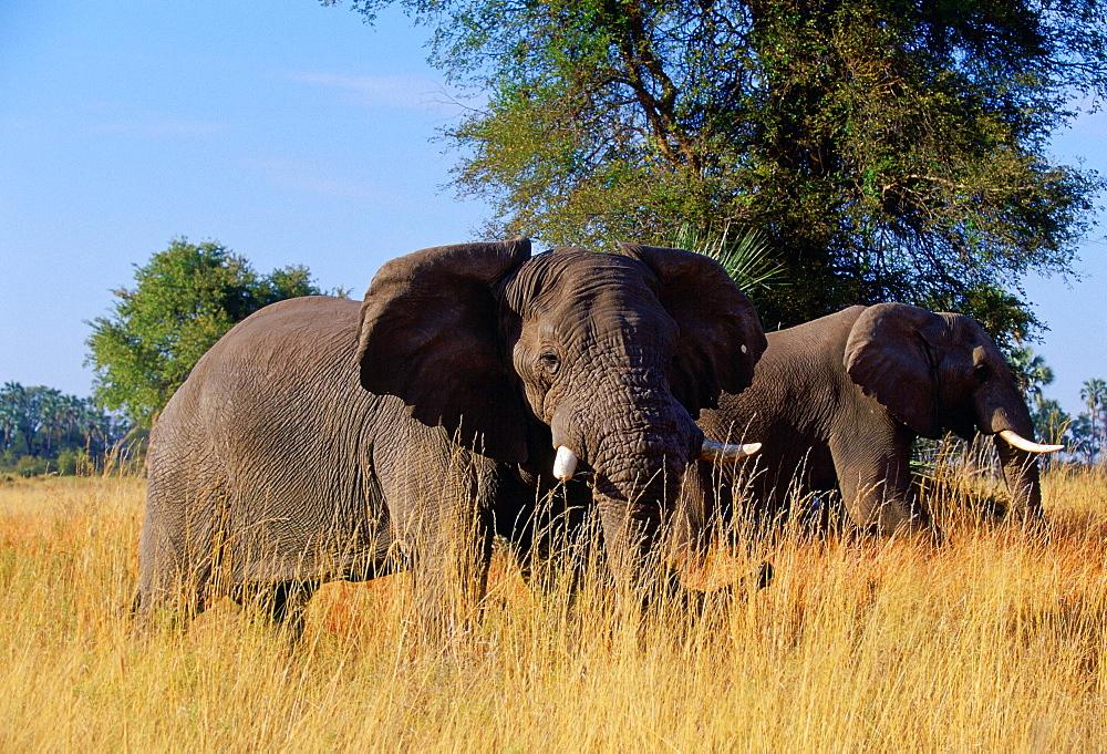 Elephants in  Moremi National Park, Botswana
