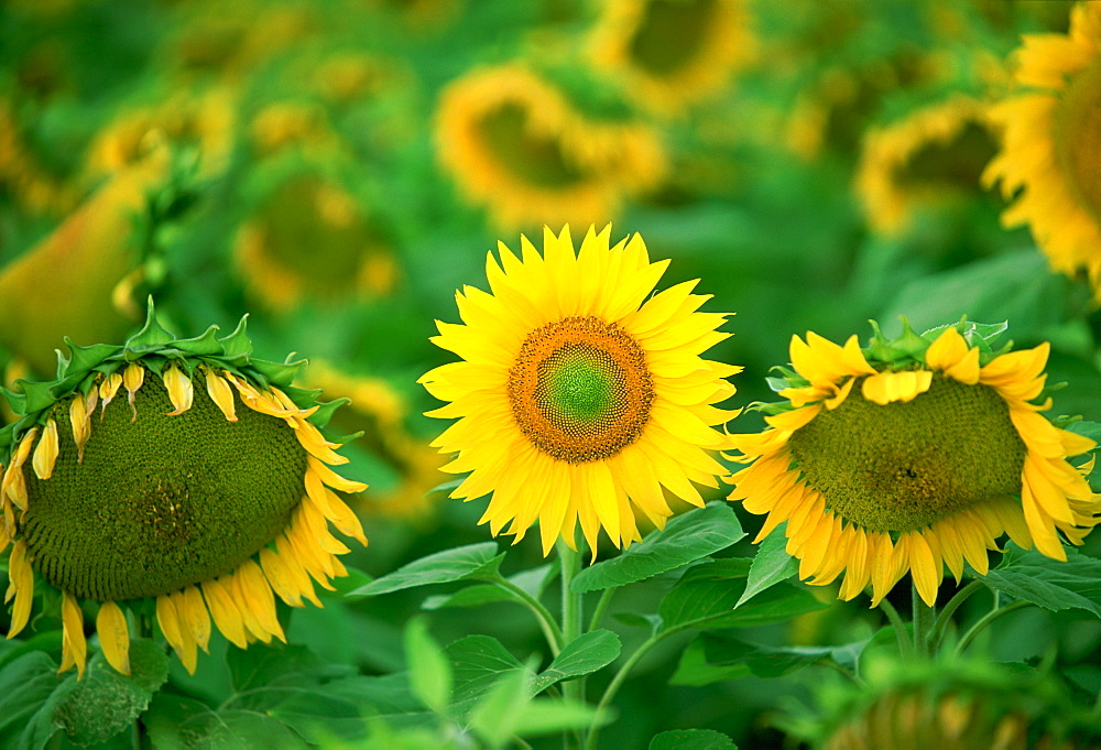 Standing out from the crowd - a healthy sunflower holds its head up proudly while others around it wilt and fade, Loire Valley, France
