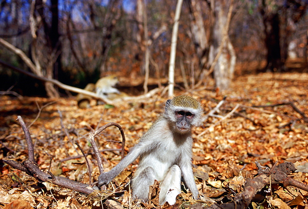 Vervet monkey  among fallen dead leaves in Zimbabwe