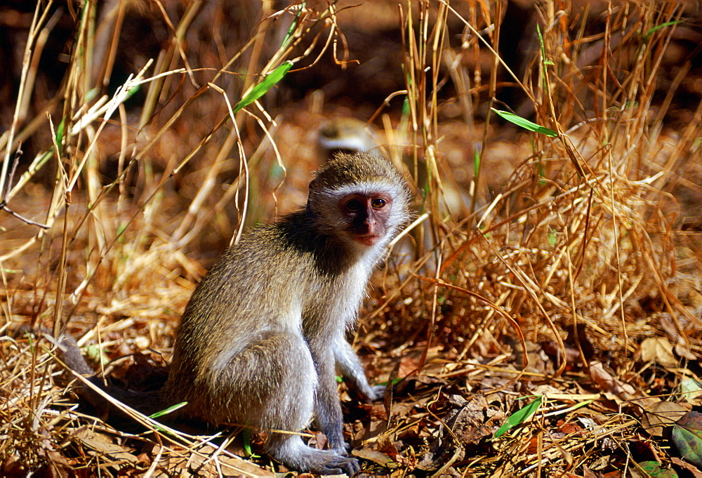 Vervet monkeys  among fallen dead leaves in Zimbabwe