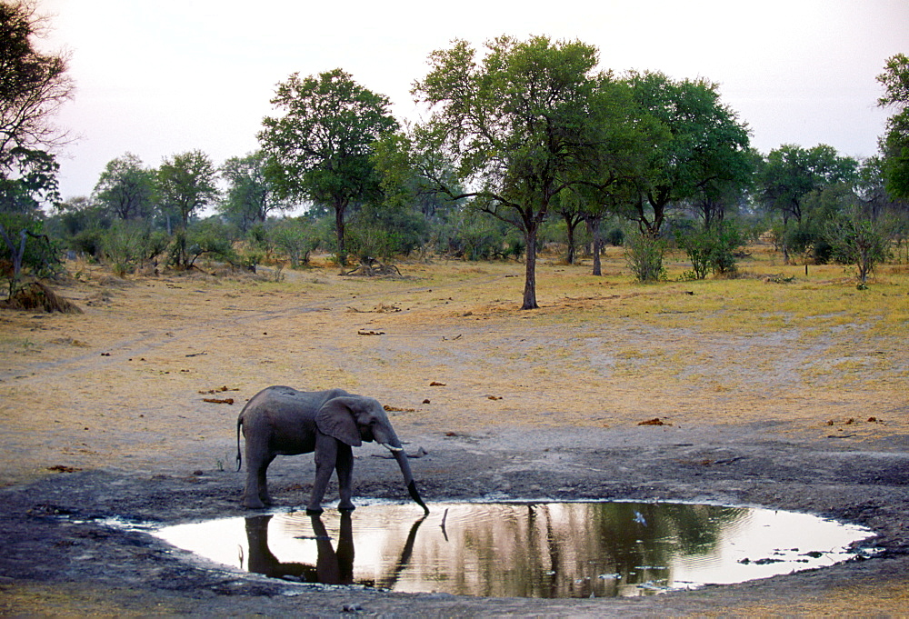 Lone young elephant drinking at a water hole at dusk, Botswana, Africa