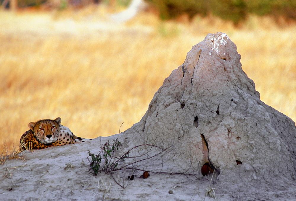 Cheetah at sunset lying by termite mound  in Moremi National Park , Botswana