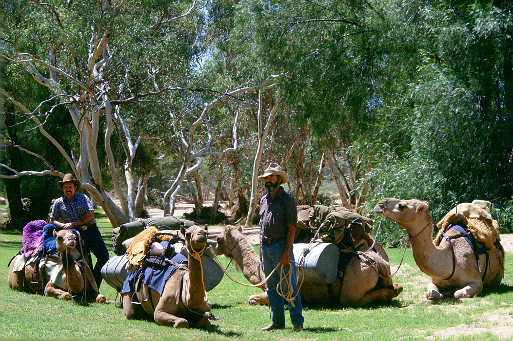 Camel drovers with their camels at Alice Springs in Australia