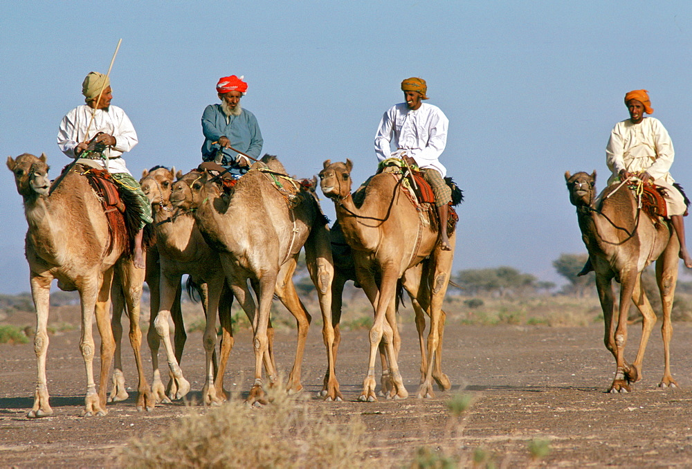 Camels and riders in a camel train,  Abu Dhabi.