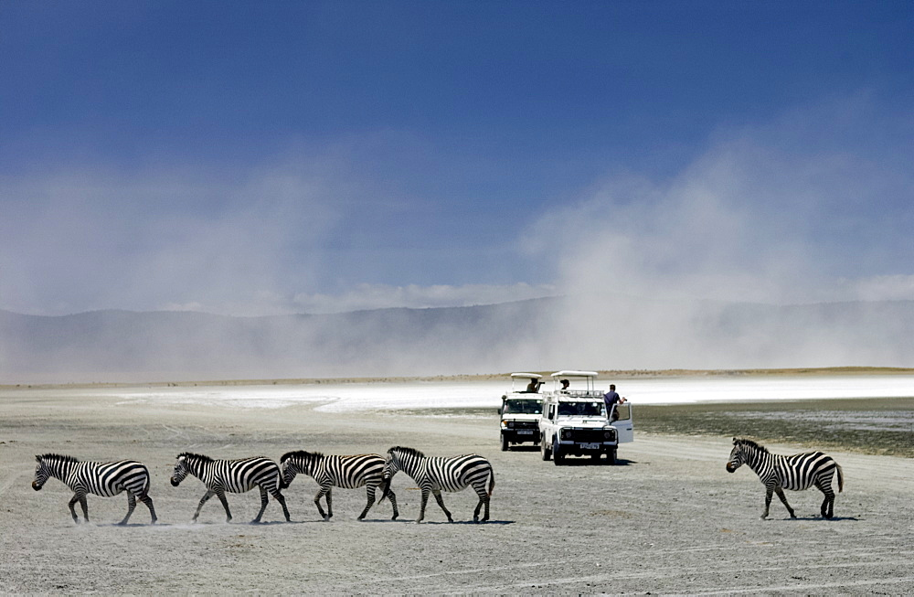 A herd of Common Plains Zebra (Grant's) by the salt pan of Lake Magadi in the  Ngorongoro Crater, Tanzania - 1161-133