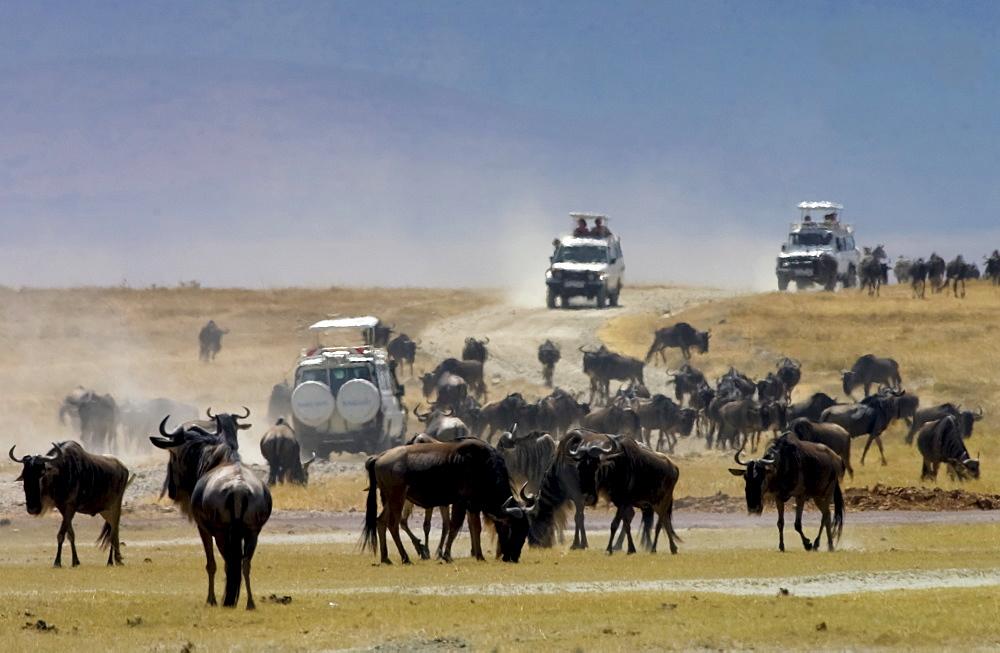 Herd of Blue Wildebeest, Ngorongoro Crater, Tanzania, East Africa - 1161-134