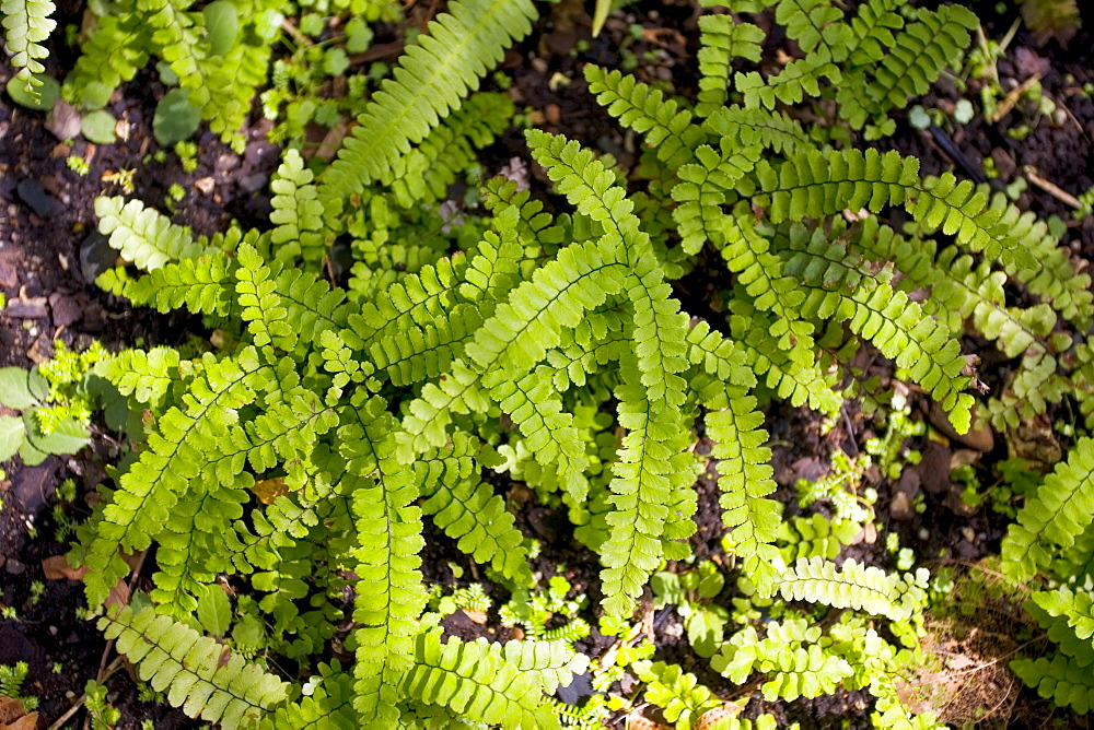 Ferns growing in the Royal Botanical Gardens, Sydney, Australia