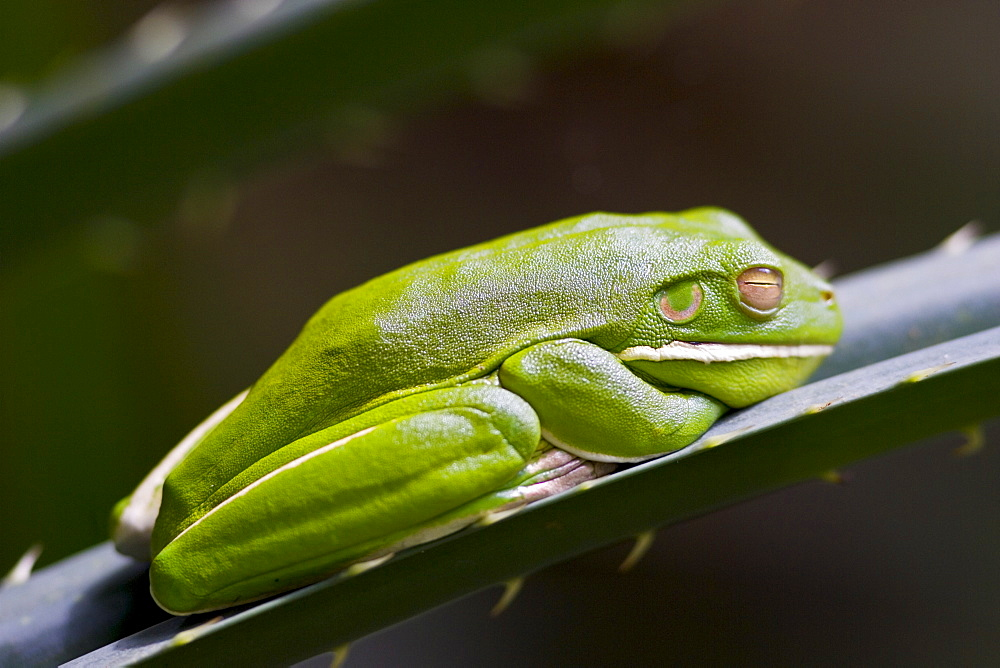White-Lipped Green Tree Frog on palm leaf, Daintree World Heritage Rainforest, Queenland, Australia