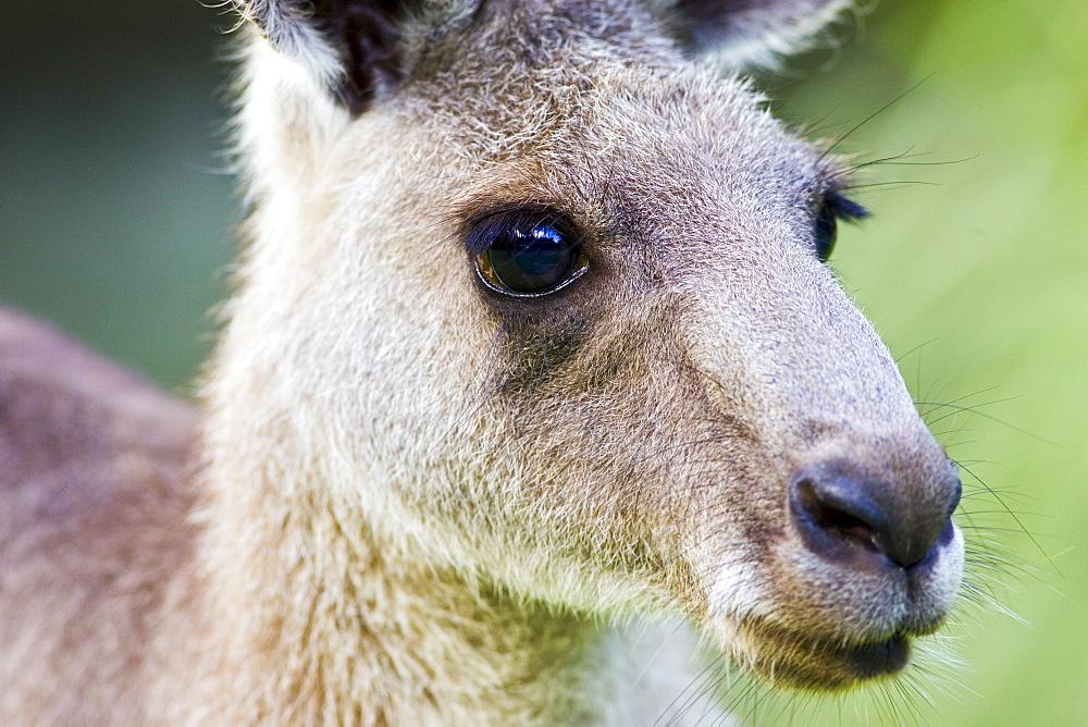 Antilopine Wallaroo, Queensland , Australia