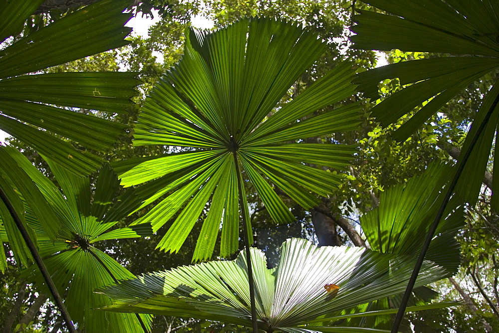 Fan Palms in the Daintree Rainforest, Queensland, Australia