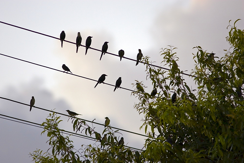 Starlings, Queensland, Australia. Avian Flu Bird Flu virus could spread to wild birds