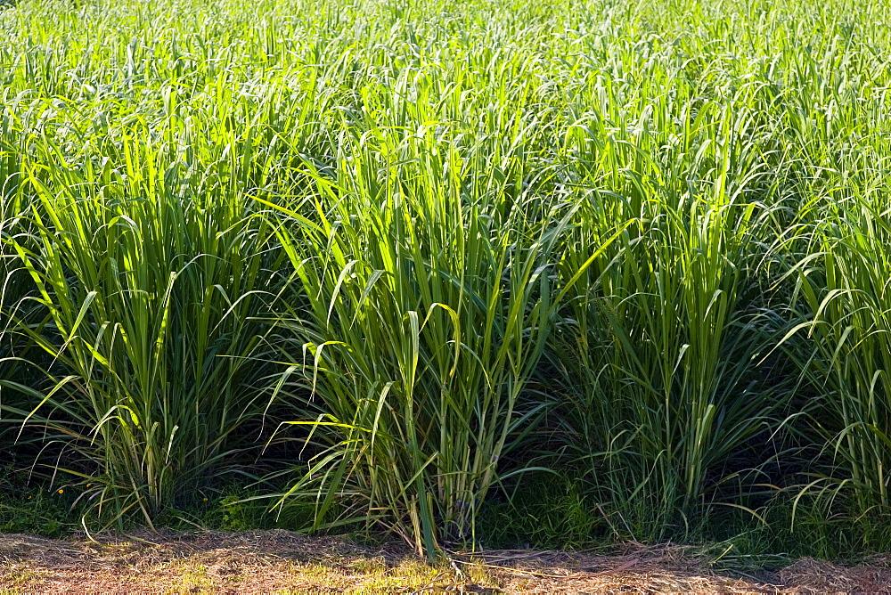 Sugar cane paddock, Freshwater Connection, Australia